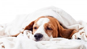 Very much sick dog under a blanket, isolated on  white